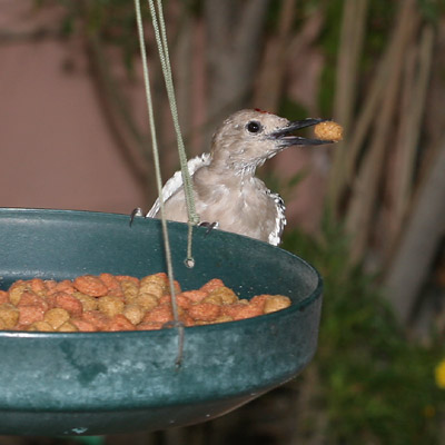 Juvenile Male Gila Woodpecker (Melanerpes uropygialis) at a dog food feeder