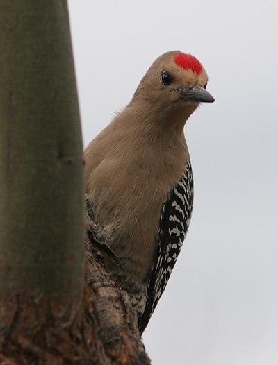 Male Gila Woodpecker (Melanerpes uropygialis)