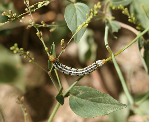 Caterpillar, likely a White-lined Sphinx (Hyles lineata)