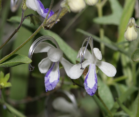 Arizona Bluecurls (Trichostema arizonicum) flowers