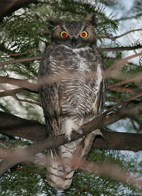 Great Horned Owl (Bubo virginianus) with camera red-eye