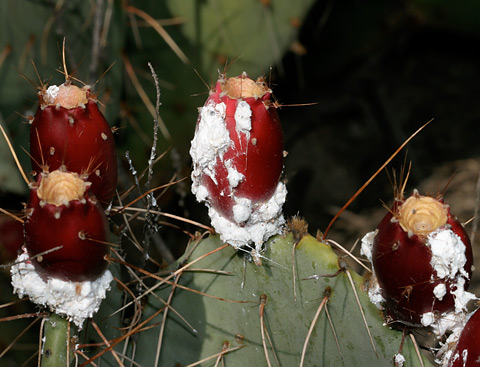 Cochineal scale insects (Dactylopius coccus) on Opuntia engelmannii