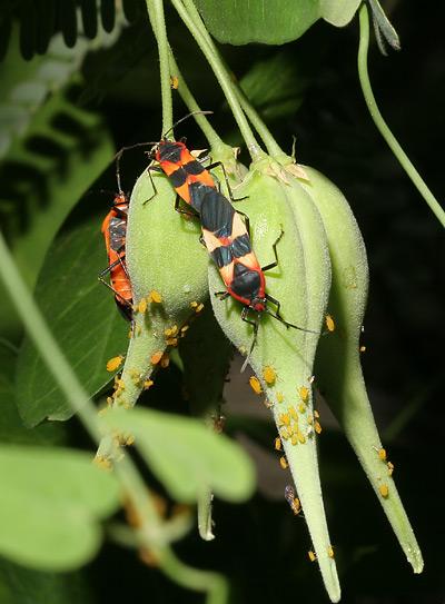 Large Milkweed Bugs (Oncopeltus fasciatus) on Fringed Twinevine (Funastrum cynanchoides) seed pods