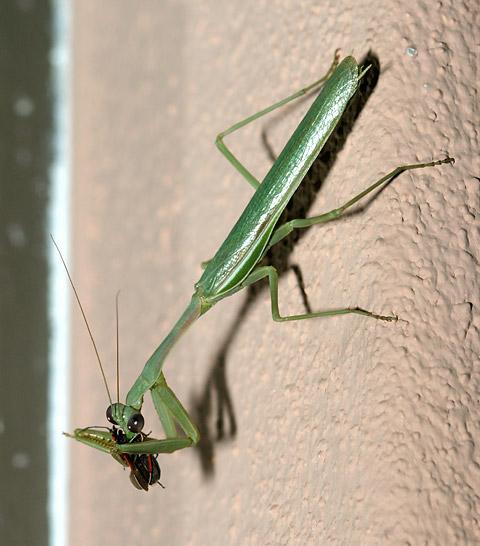 Praying Mantis (Order Mantodea) eating an insect