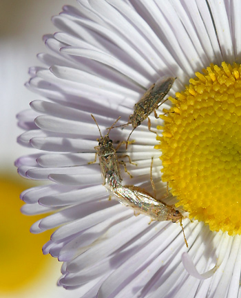 Spreading Fleabane (Erigeron divergens) flower with unidentified insects