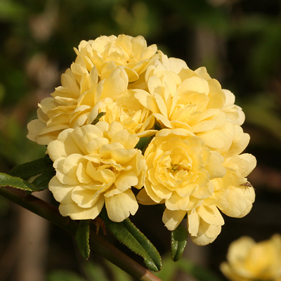 Yellow-flowered Lady Banks Rose (Rosa banksiae)