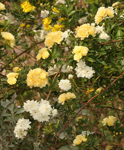 Yellow and white Lady Banks Roses (Rosa banksiae)