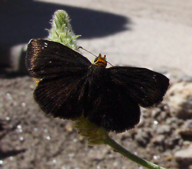 Golden-headed Scallopwing (Staphylus ceos) butterfly
