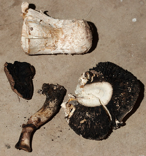 Unknown, half-eaten mushrooms with brown gills