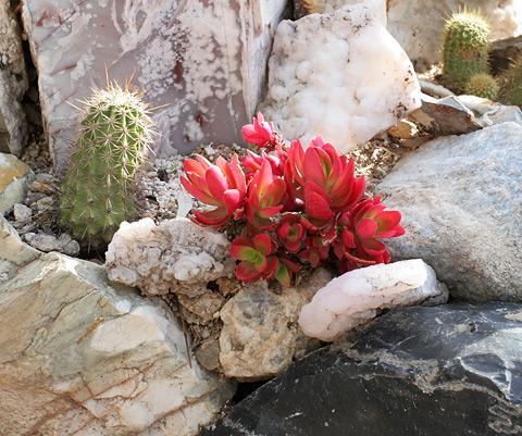 Red succulent in Harrison Yocum's garden in Tucson, Arizona