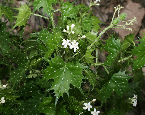 Mala Mujer (Cnidoscolus angustidens) flowers