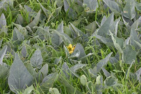 Stink Gourd, Missouri Gourd, or Buffalo Gourd (Cucurbita foetidissima)