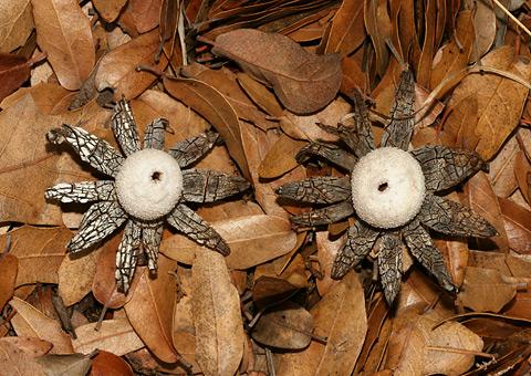 Earthstar (Geastrum sp.) fungi
