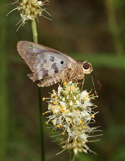 Hammock Skipper (Polygonus leo) on White Prairie Clover (Dalea candida)