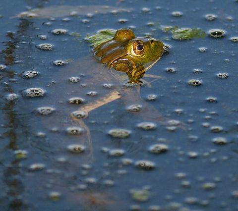 Male American Bullfrog (Rana catesbeiana)