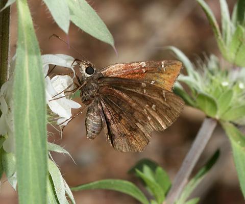 Northern Cloudywing (Thorybes pylades) butterfly on Pony Beebalm (Monarda pectinata) flowers