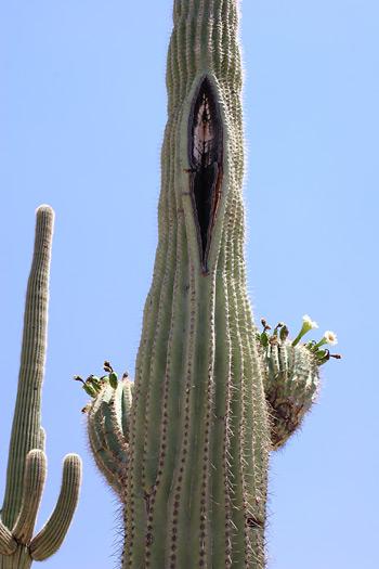 Funny-looking Saguaro (Carnegiea gigantea)