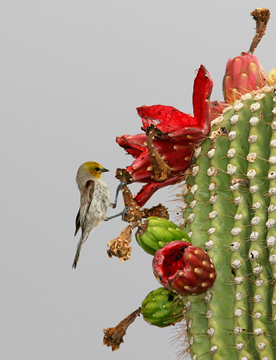 Saguaro (Carnegiea gigantea) fruit and a Verdin (Auriparus flaviceps)