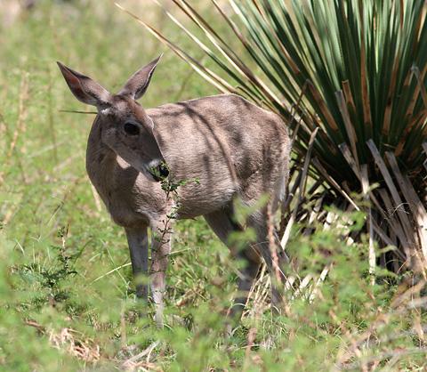 Female White-tailed Deer (Odocoileus virginianus)