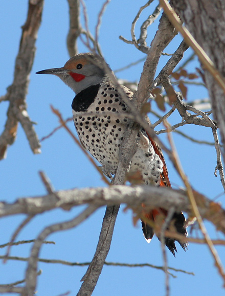 Male Northern (Red-shafted) Flicker (Colaptes auratus cafer)