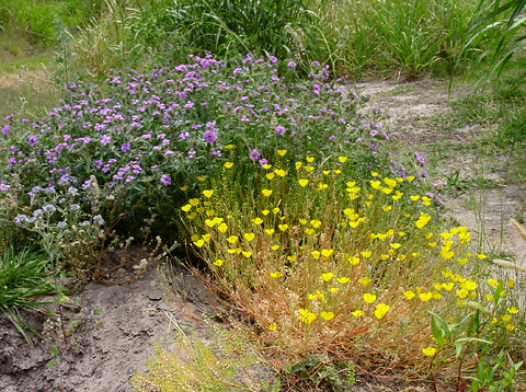 Wildflowers, wild flowers, flores silvestres, flores salvajes, or whatever in Tucson, AZ