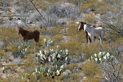 Wild horses in the foothills of Arizona's Chiricahua Mountains