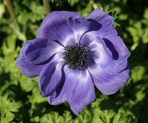 Poppy Anemone or Crown Anemone (Anemone coronaria)
