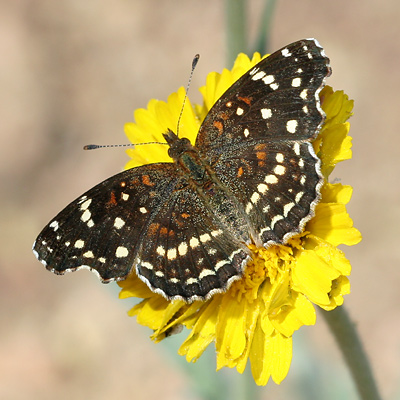 Texan Crescent (Anthanassa texana or Phyciodes texana) butterfly on a Desert Marigold (Baileya multiradiata) flower