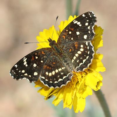 Texan Crescent (Anthanassa texana or Phyciodes texana) butterfly on a Desert Marigold (Baileya multiradiata) flower