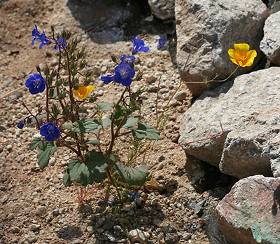 Desertbells (Phacelia campanularia) and California Poppy (Eschscholzia californica)