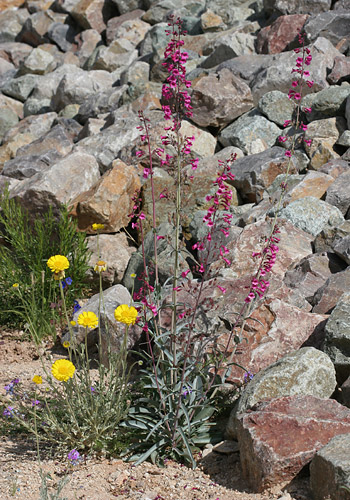Parry's Beardtongue (Penstemon parryi) and Desert Marigold (Baileya multiradiata)