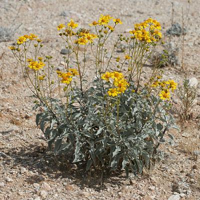 Goldenhills or Brittlebush (Encelia farinosa)
