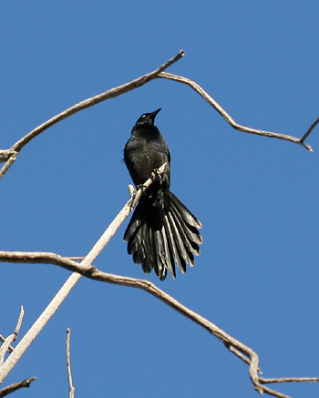 Male Great-tailed Grackle (Quiscalus mexicanus)