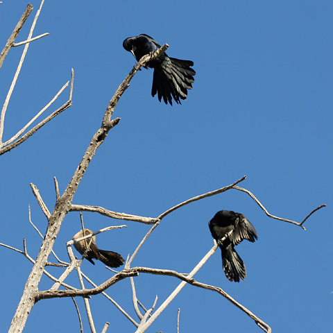 Great-tailed Grackles (Quiscalus mexicanus)