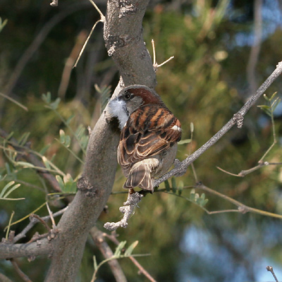 Male House Sparrow (Passer domesticus) collecting feathers for a nest