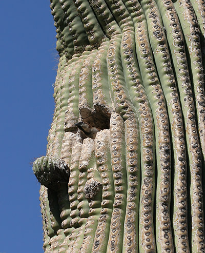 Male House Sparrow (Passer domesticus) in a Saguaro