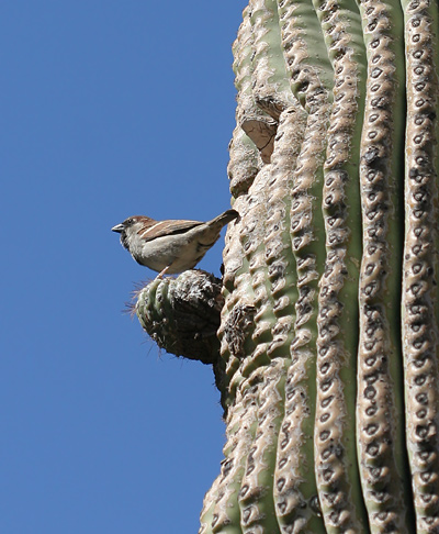 Male House Sparrow (Passer domesticus) perched on a Saguaro