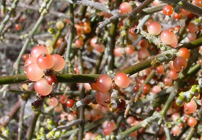 Mesquite Mistletoe (Phoradendron californicum) berries