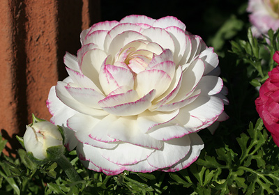 Persian Buttercup or Ranunculus (Ranunculus asiaticus) flower
