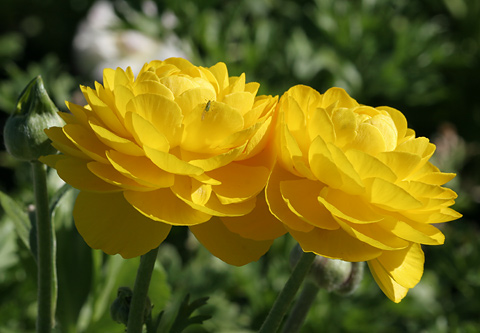 Persian Buttercup or Ranunculus (Ranunculus asiaticus) flowers