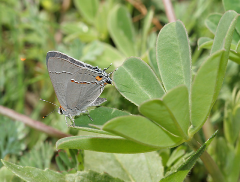 Gray Hairstreak (Strymon melinus)