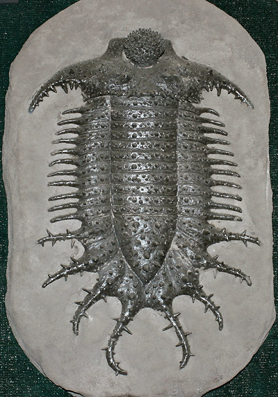 Terataspis grandis, a giant spiny trilobite from the Onondaga Limestone of western New York