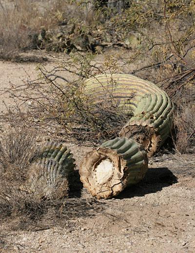 Fallen, broken Saguaro (Carnegiea gigantea)