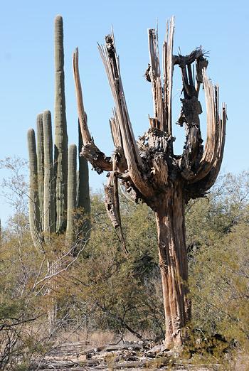 Dead Saguaro (Carnegiea gigantea)