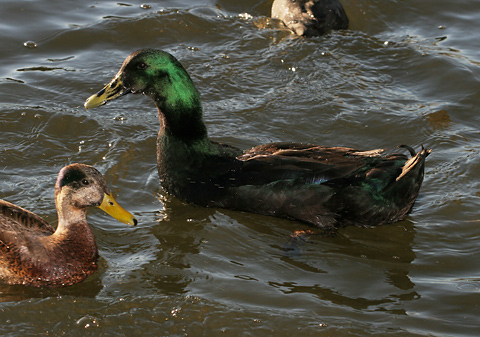 Male Domestic Cayuga Duck (Anas platyrhynchos)