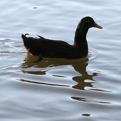 Male Domestic Cayuga Duck (Anas platyrhynchos)