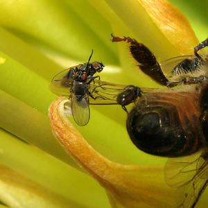 Tiny flies swarming a dead Honeybee (Apis mellifera)