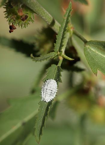 Mealybug (Family Pseudococcidae)