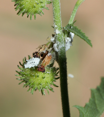 Mealybugs (Family Pseudococcidae)