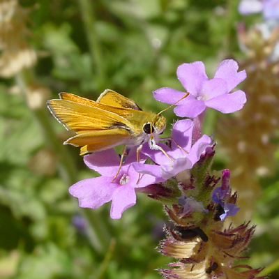 Yellow and purple, Skipper (Family Hesperiidae) butterfly on a Southwestern Mock Vervain (Glandularia gooddingii) flower